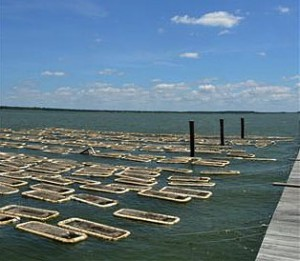 Aquaculture operation in the Chesapeake Bay